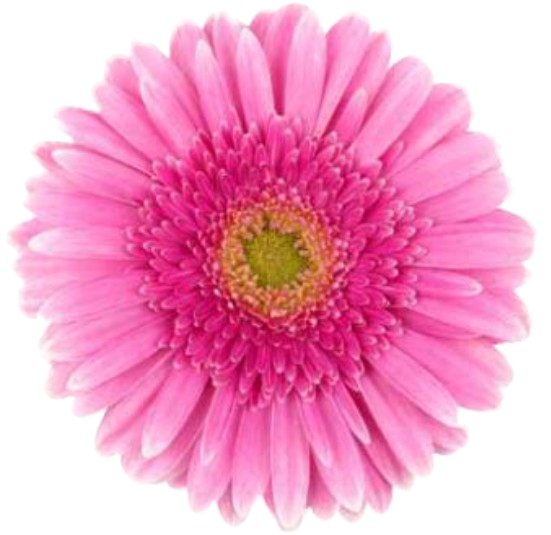 Venda De Flores Gérberas Em Campinas Sp Ceasa Flores Em Campinas